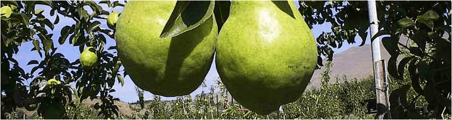 Slider pear image